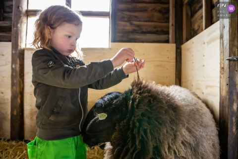 Gelderland Netherlands Boy with sheep in the family barn