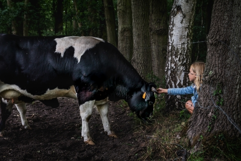 cow-petting