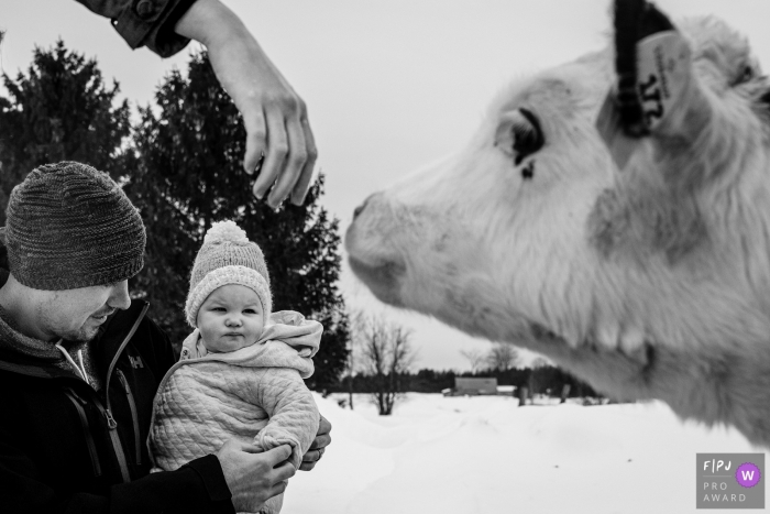 Ontario Canada toddler looks on while hand reaches to pet calf