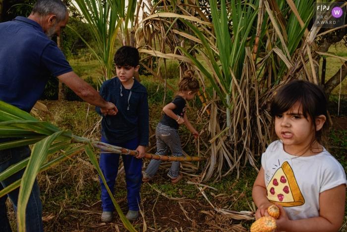 Ribeirao Preto Documentary Family Photography   children harvest sugar cane