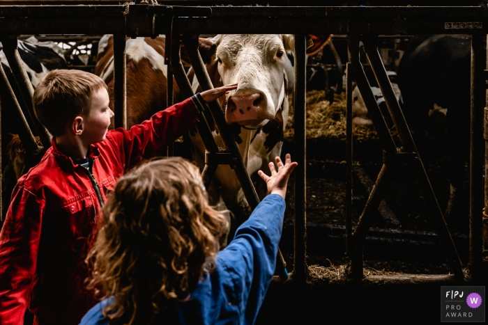 Moment-driven Groningen family photography of young kids petting big cows